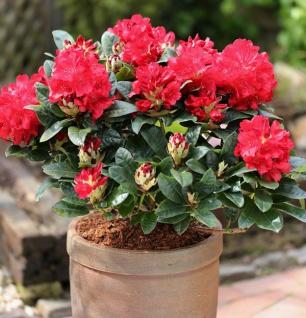 INKARHO - Großblumige Rhododendron Lisetta® 25-30cm - Alpenrose