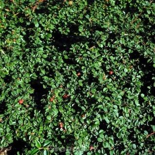 10x Zwergmispel Eichholz 10-15cm - Cotoneaster dammeri