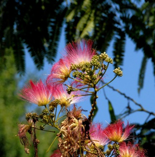 Seidenakazie Evis Pride - Schlafbaum 125-150cm - Albizia julibrissin