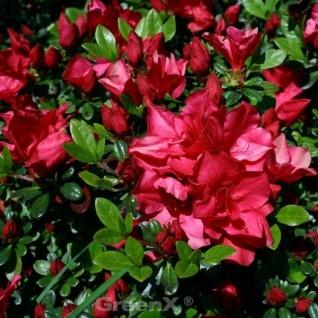 Japanische Azalee Muttertag 20-25cm - Rhododendron obtusum - Zwerg Alpenrose