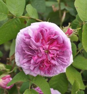 Historische Rose President de Sèze 30-60cm