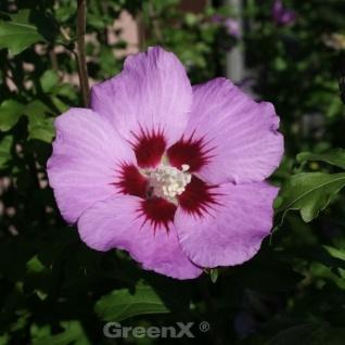 Garteneibisch Russian Violet 80-100cm - Hibiscus