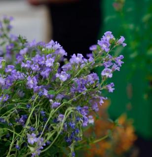 Löwenmaul blau - Chaenorhinum origanifolium
