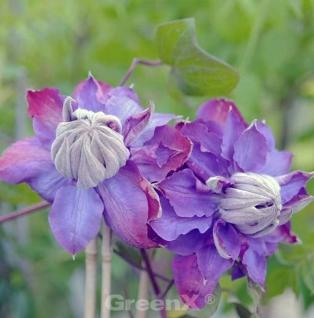 Waldrebe Vivian Pennell 60-80cm - Clematis