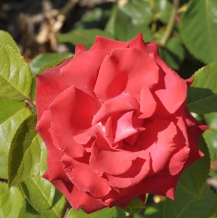 Hochstamm Rose Grande Amore 80-100cm