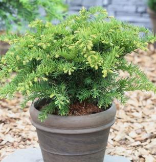 Tafeleibe 40-50cm - Taxus baccata