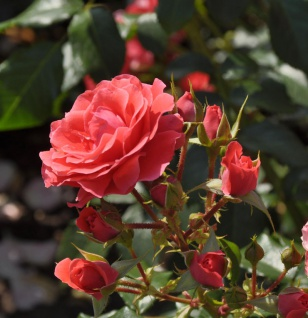 Hochstamm Rose Cherry Girl 80-100cm