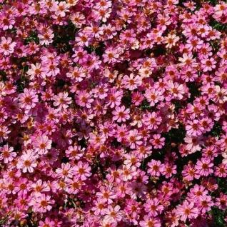 Mädchenauge Pink Lady - großer Topf - Coreopsis grandiflora