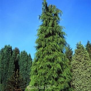 Hänge Scheinzypresse Intertexta 125-150cm - Chamaecyparis obtusa