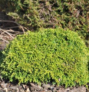 Silberzypresse Tsukumo 15-20cm - Chamaecyparis pisifera