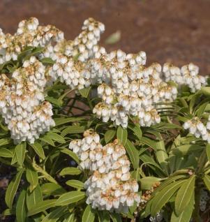 Schattenglöckchen Lavendelheide Katsuta 30-40cm Pieris japonica