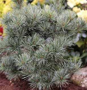 Japanische Zwergmädchenkiefer 40-50cm - Pinus parviflora