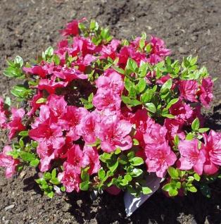 Japanische Azalee Purpurkissen® 25-30cm - Rhododendron obtusum - Zwerg Alpenrose