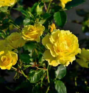 Hochstamm Rose Friesia® 60-80cm
