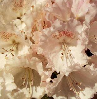 Hochstamm Rhododendron Heinjes Zauberflöte 80-100cm - Alpenrose