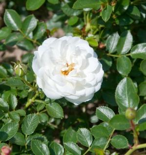 Edelrose White Babyflor 30-60cm