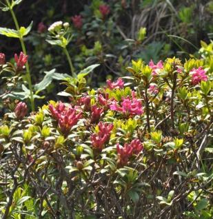 Rostblättrige Alpenrose 10-15cm - Rhododendron ferrugineum