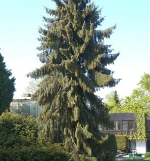 Mähnenfichte 50-60cm - Picea breweriana