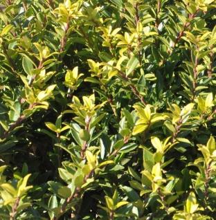Hochstamm Japanische Stechpalme Ilex Twiggy 40-60cm - Ilex crenata Twiggy