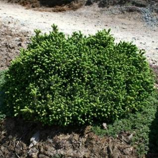 Blaue Igelfichte 10-15cm - Picea glauca