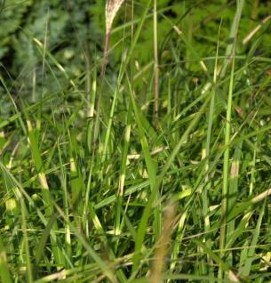 Chinaschilf Pünktchen - XXXL Topf - Miscanthus sinensis