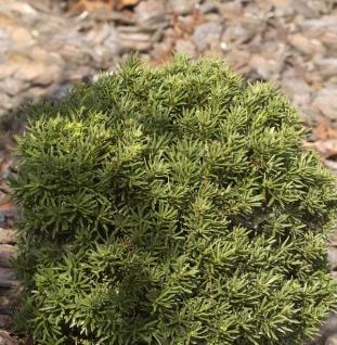 Zwerg Kugeleibe Green Diamond 25-30cm - Taxus baccata