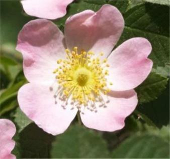 Schottische Zaunrose Weinrose 60-80cm - Rosa rubiginosa