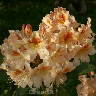 INKARHO - Großblumige Rhododendron Marylou 30-40cm - Alpenrose