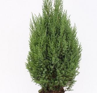 Blauer Kegelmooswacholder 50-60cm - Juniperus chinensis