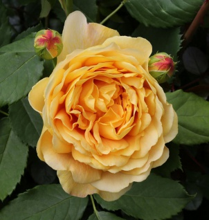 Englische Rose Golden Celebration® 30-60cm