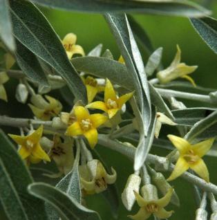 Schmalblättrige Ölweide 100-125cm - Elaeagnus angustifolia