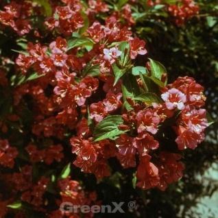 Newport Newport Red 100-125cm - Weigela florida