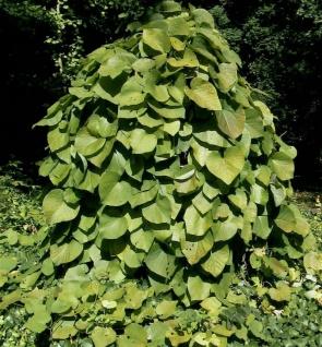 Pfeifenwinde 40-60cm - Aristolochia macrophylla - Vorschau
