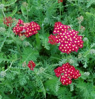 Schafgarbe Paprika - großer Topf - Achillea millefolium