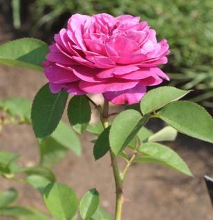 Floribundarose Heidi Klum Rose 30-60cm