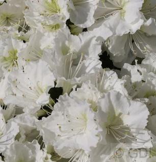 Japanische Azalee Maischnee® 30-40cm - Rhododendron obtusum - Zwerg Alpenrose