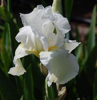 Schwertlilie Cliffs of Dover - Iris barbata