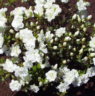 Japanische Azalee Rigmor 15-20cm - Rhododendron obtusum - Alpenrose