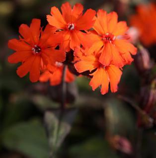 Garten Lichtnelke Molten Lava - Lychnis haageana