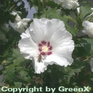 Rosen Eibisch Red Heart 80-100cm - Hibiscus syriacus