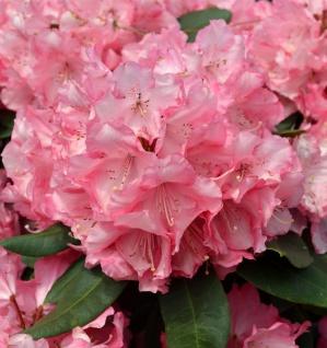 INKARHO - Großblumige Rhododendron Romilda® 40-50cm - Alpenrose