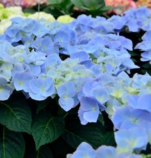 Bauernhortensie Frisbee Blue 30-40cm - Hydrangea macrophylla