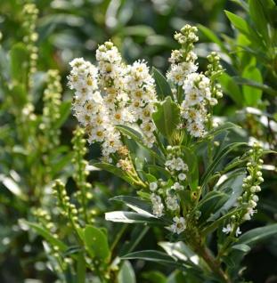 Hochstamm Lorbeerkirsche Gajo 100-25cm - Prunus laurocerasus