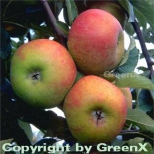 Apfelbaum Ingol 60-80cm - guter Herbstsapfel