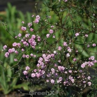 Riesenschleierkraut Maytime - Gypsophila Paniculata - Vorschau