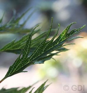 Roterle Imperialis 100-125cm - Alnus glutinosa