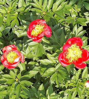 Edelpfingstrose Flame - Paeonia lactiflora