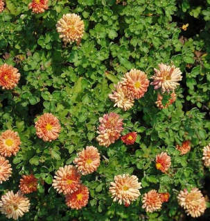 Winteraster Bronzeteppich - Chrysanthemum Indicum