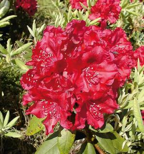 Großblumige Rhododendron Erato® 30-40cm - Alpenrose