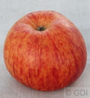 Apfelbaum Herzog von Cumberland 60-80cm - feinwürzig und fest